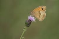 Oranje zandoogje – Pyronia tithonus – Gatekeeper(a)