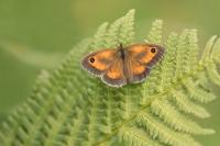 Oranje zandoogje – Pyronia tithonus – Gatekeeper(a1)