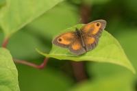 Oranje zandoogje – Pyronia tithonus – Gatekeeper(a2)