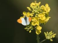 Oranjetipje – Anthocharis cardamines – OrangeTip(a1)