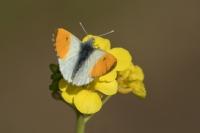 Oranjetipje – Anthocharis cardamines – OrangeTip(a2)