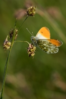 Oranjetipje man – Anthocharis cardamines – Orange Tip(a2)