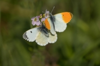 Oranjetipje paartje – Anthocharis cardamines – OrangeTip