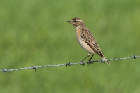 Paapje op draad -Saxicola rubetra –Whinchat(a)