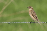 Paapje op draad -Saxicola rubetra –Whinchat(a1)