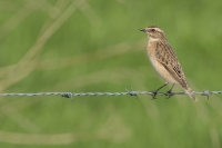 Paapje – Saxicola rubetra –Whinchat(a)