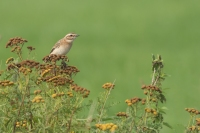 Paapje – Saxicola rubetra –Whinchat(a1)