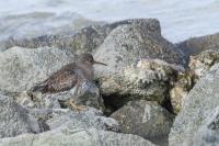 Paarse strandloper – Calidris maritima – PurpleSandpiper(a1)