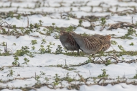 Patrijzen in vegetatie – Perdix perdix – Partridge(a)