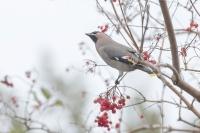 Pestvogel – Bombycilla garrulus – BohemianWaxwing(a)