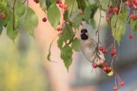Pestvogel foeragerend – Bombycilla garrulus – BohemianWaxwing(a1)