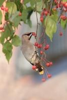 Pestvogel foeragerend – Bombycilla garrulus – BohemianWaxwing(a3)