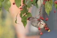 Pestvogel foeragerend – Bombycilla garrulus – BohemianWaxwing(a4)