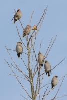 Pestvogels op de uitkijk – Bombycilla garrulus – Bohemian Waxwing(a)