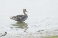 Pijlstaart vrouw – Anas acuta Linaeus – Northern Pintail(a)