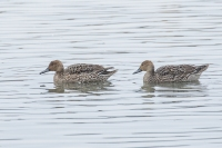 Pijlstaart vrouw – Anas acuta Linaeus – Northern Pintail(a2)