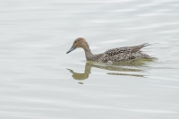 Pijlstaart vrouw – Anas acuta – Northern Pintail(a1)