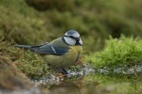 Pimpelmees – Parus caeruleus – Blue Tit(a3)