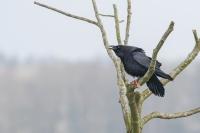 Raaf – Corvus corax – Raven(a)