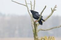 Raaf met ganzenpoot – Corvus corax – Raven(a1)