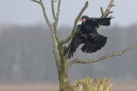 Raaf met prooi – Corvus corax – Raven(a1)
