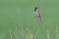 Rietgors man foeragerend – Emberiza schoeniclus – Reed Bunting(a)