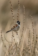 Rietgors man foeragerend – Emberiza schoeniclus – Reed Bunting(a2)