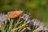 Rozenblaadje – Miltochrista miniata – Rosy Footman(a)