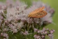 Rozenblaadje – Miltochrista miniata – Rosy Footman(a1)