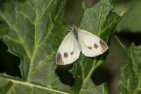 Scheefbloemwitje – Pieris mannii – Southern small White(a)