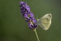 Scheefbloemwitje – Pieris mannii – Southern smallWhite