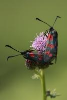 St Jansvlinders parend – Zygaena filipendulae- Six-spot Burnet(a)