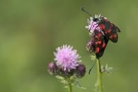 St Jansvlinders parend – Zygaena filipendulae – Six-spot Burnet(a1)