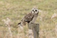 Velduil – Asio flammeus – Short-eared Owl(a)
