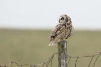 Velduil – Asio flammeus – Short-eared Owl(b)