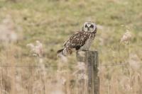 Velduil op de uitkijk – Asio flammeus – Short-eared Owl(b)
