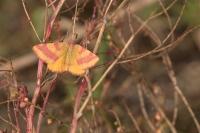 Zuringspanner – Lythria cruentaria – Purple-barred Yellow(a2)