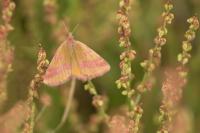 Zuringspanner – Lythria cruentaria – Purple-barred Yellow(a3)