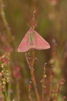 Zuringspanner – Lythria cruentaria – Purple-barred Yellow(a4)