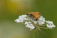 Zwartsprietdikkopje – Thymelicus lineola – Essex Skipper(a1)