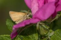Zwartsprietdikkopje – Thymelicus lineola – Essex Skipper(a2)