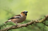 Appelvink man – Euthrix potatoria – Hawfinch (a1)