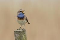 Blauwborst zingend – Lusciniasvecica
