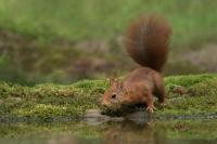 Eekhoorn drinkend – Sciurus vulgaris – Red squirrel(a1)