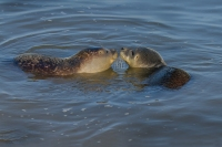 Gewone zeehonden spelend – Phoca vitulina – Haborseal(a)
