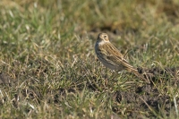 Graspieper – Anthus pratensis – MeadowPipit(a2)