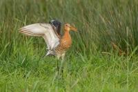 Grutto terug – Limosa limosa – Black-tailed Godwit(a)