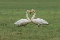 Wilde zwanen met hartvorm – Cygnus cygnus – WhooperSwan(a)