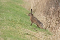 Haas – Lepus europeus –Hare