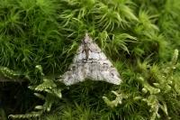 Kleine voorjaarsspanner vrouw – Agriopis leucophaearia(a)
